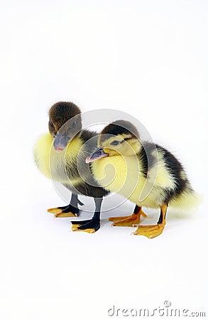 Free Baby Ducks Stock Images - 1656304
