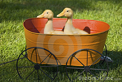 Baby Ducks in Planter