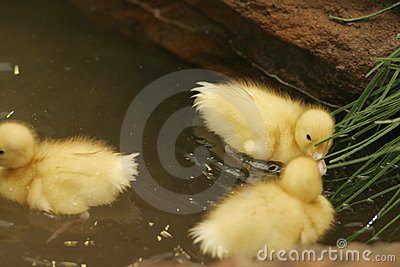 Baby ducks in a pond
