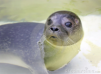 Baby earless seal