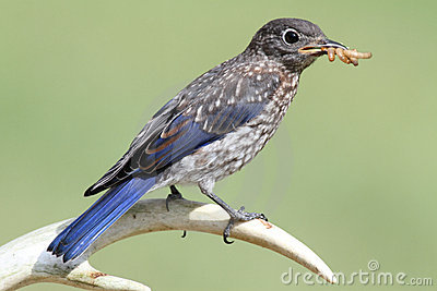 Baby Eastern Bluebird