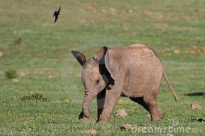 Baby Elephant and Bird