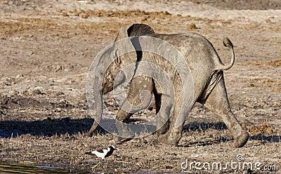 Baby Elephant - Botswana