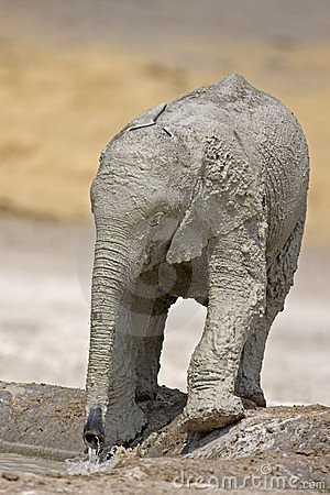 Free Baby Elephant Full Of White Mud Stock Photo - 19139070