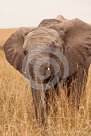 Free Baby Elephant In Kenya Royalty Free Stock Photography - 24805087