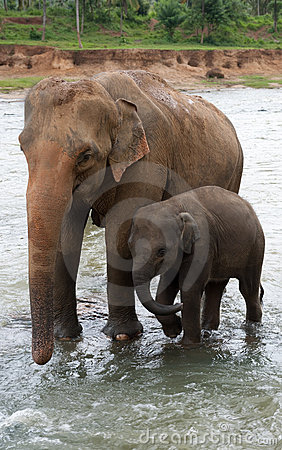 Baby-elephant and mother elephant