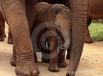 A baby elephant protected by her mother
