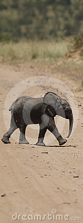 Baby Elephant Road Crossing