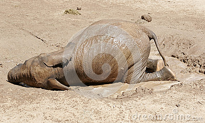 Baby Elephant rolling in the mud and water