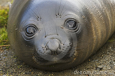 Baby Elephant Seal in South Georgia