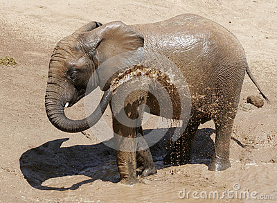 Baby Elephant with spraying himself with water