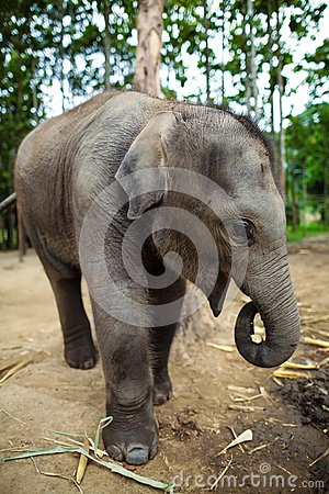 Free Baby Elephant Standing Royalty Free Stock Images - 26028709