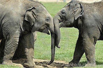 Baby Elephants Greeting