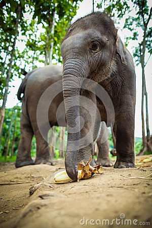 Baby elephants playing and eating corn.