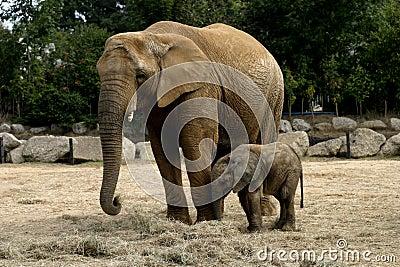 Baby Elephany Kito