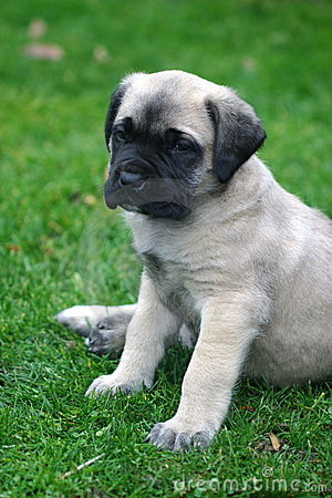 Baby English Mastiff Portrait