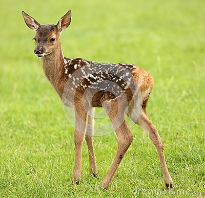 Free Baby Fallow Deer Royalty Free Stock Images - 32553519