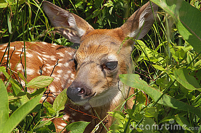 Baby Fawn In Spring