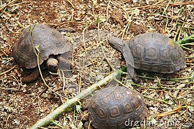 Baby Galapagos Tortoises