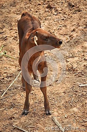 Baby gaur