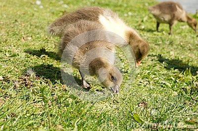 Baby geese eating