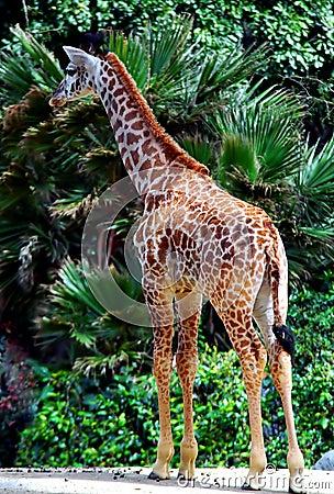 Free Baby Giraffe Stock Images - 1747844