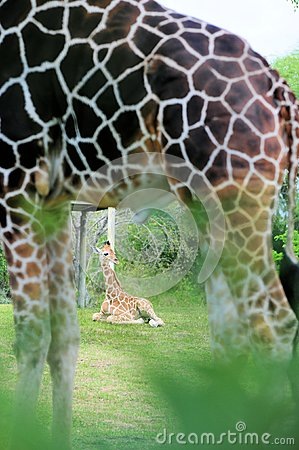 Baby giraffe & father artistic effect