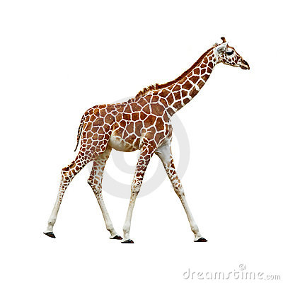 Free Baby Giraffe Isolated Royalty Free Stock Image - 20057826