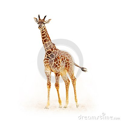 Free Baby Giraffe Isolated On White Stock Images - 108546104