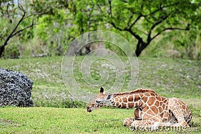 Baby giraffe resting