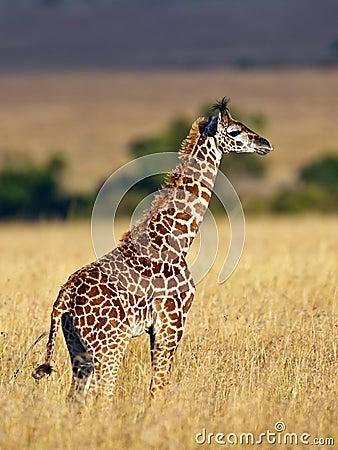 Baby giraffe walk on the savannah at sunset