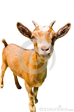 Free Baby Goat Royalty Free Stock Photos - 91962048