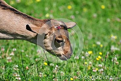Baby Goat Grazing
