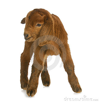 Baby goat or kid