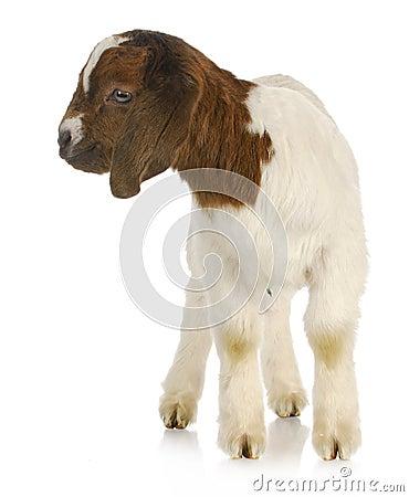 Baby goat standing