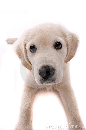 Free Baby Golden Retriever, Isolated Over White Stock Images - 6785384