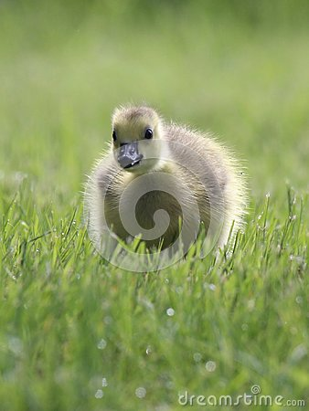 Free Baby Goose Stock Photos - 103191093