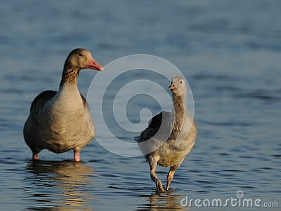 Baby Goose with Mother Goose