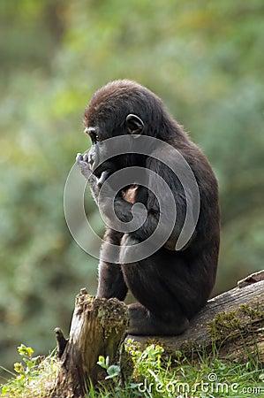 Free Baby Gorilla Royalty Free Stock Image - 1453396