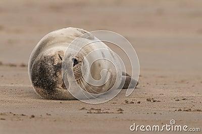 Baby Grey Seal Snoozing