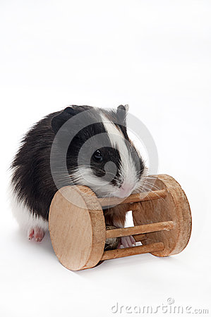 Free BABY GUINEA PIG WITH WOODEN TOY Royalty Free Stock Image - 54539256