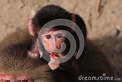 Baby hamadryas baboon eating