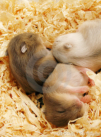 Baby hamsters sleeping