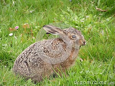 Baby Hare