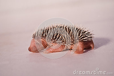 Baby hedgehog 01