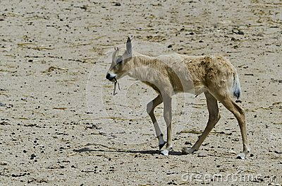 Baby of herbivorous antelope oryx (Oryx leucoryx)