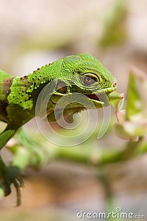 Baby Iguana eating