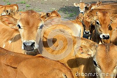 Baby Jersey Calves