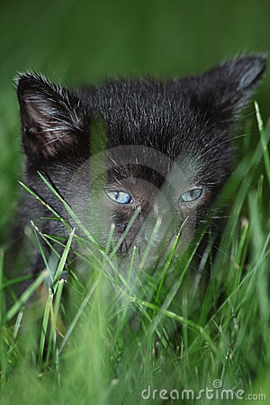 Baby Kitten In Grass
