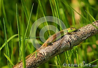 Baby Lacerta viridis or bilineata